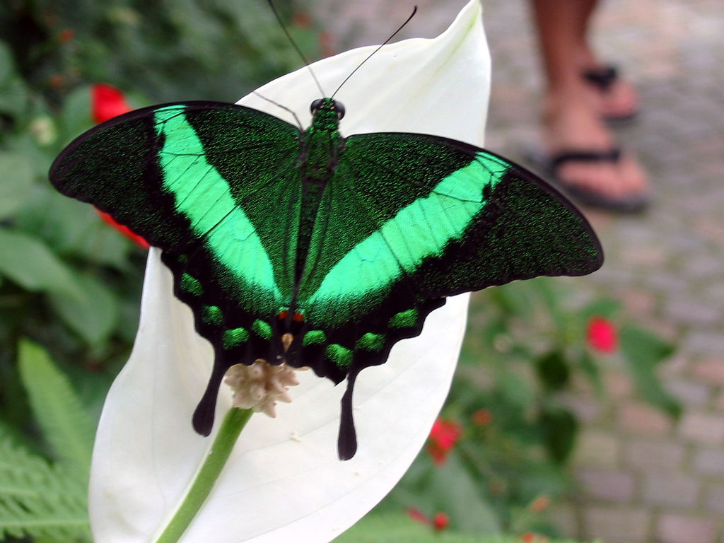 Butterfly-green_black-heart
