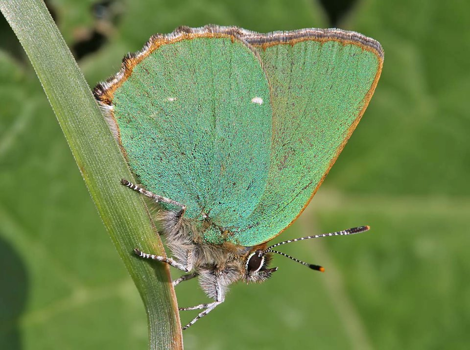 green-hairstreak-16-05-12-2