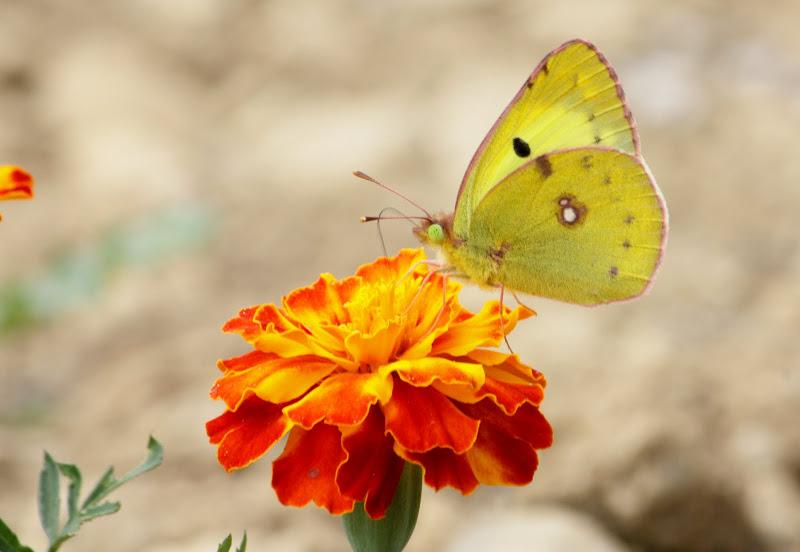 papillons 006