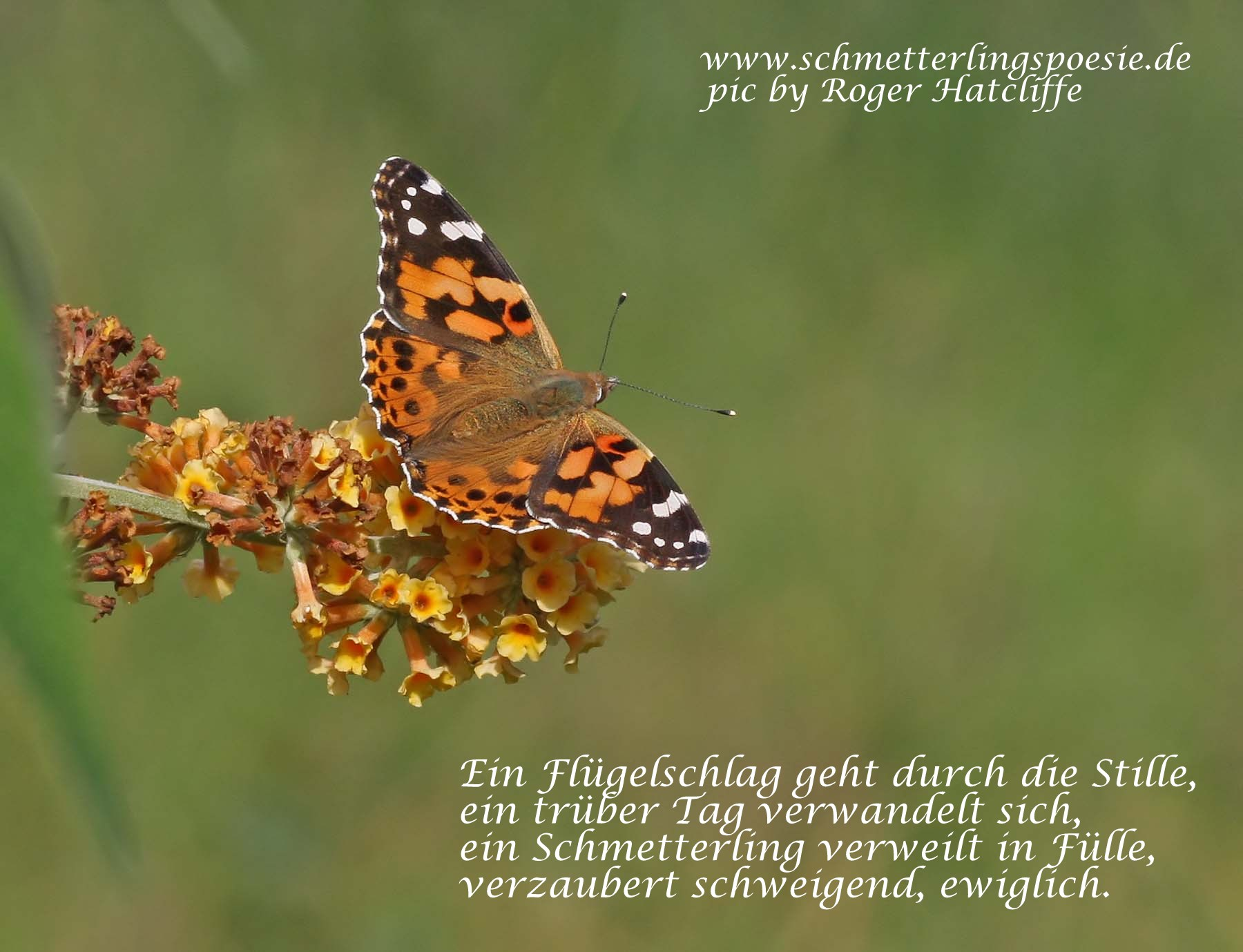 paintedlady3_14092008-text